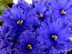 Или фиалку в дом, или мужа: почему незамужним народная молва не велит растить эти нежные цветы
