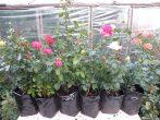Сажаем розы осенью: оцениваем плюсы и минусы, разбираемся с правилами посадки