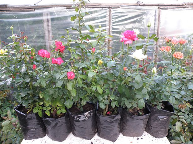 Саженцы роз в магазине