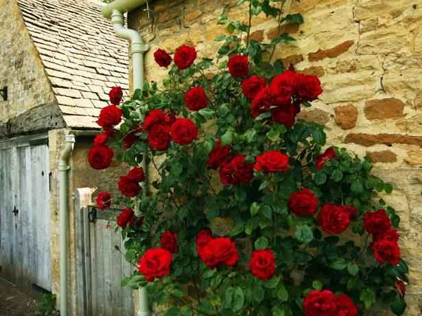 Роза у стены