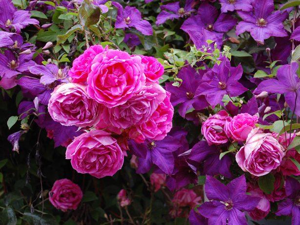 Роза и клематис