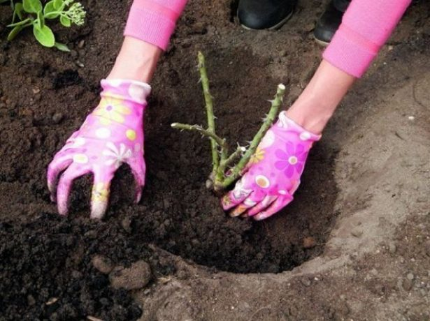 Закапывание посадочной ямы