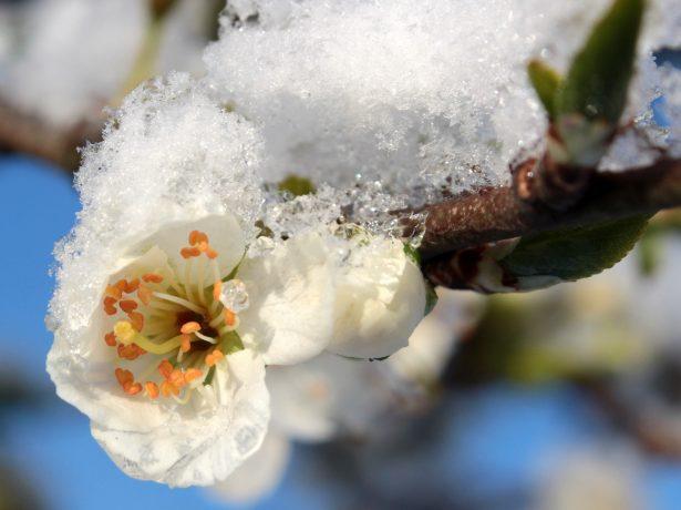 Цветок сливы в снегу