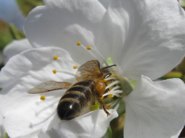 Пчела на цветке черешни