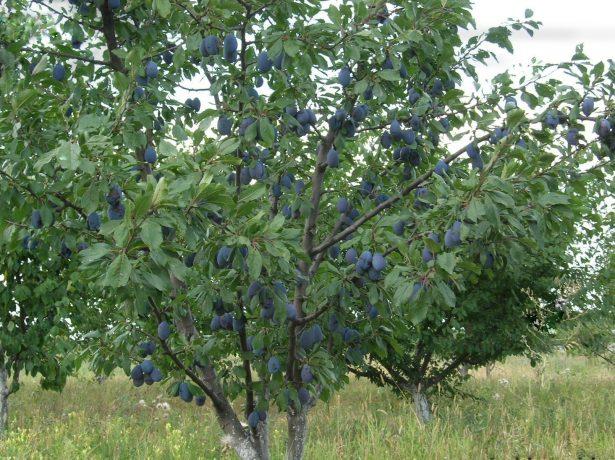 Дерево сливы