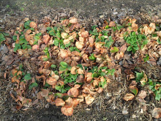 Сухие листья клубники