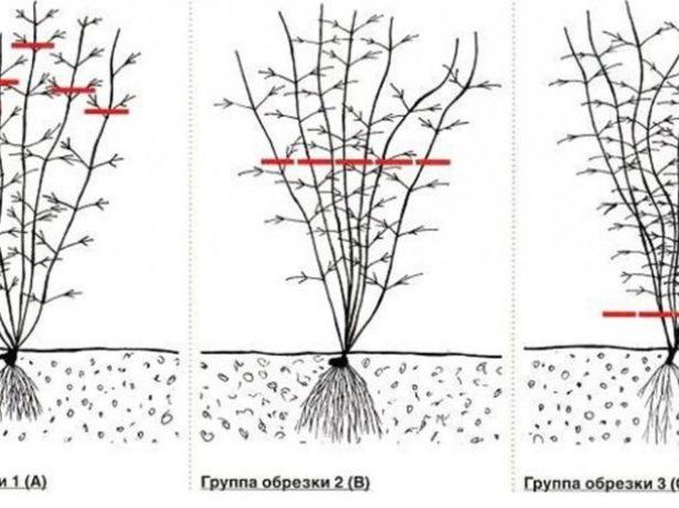 Схемы обрезки клематисов разных групп
