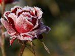 Как подготовить розы к зиме, чтобы царицы сада не замёрзли
