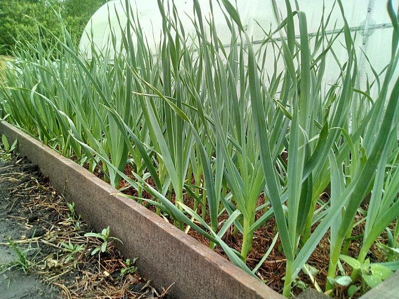 Подготовка грядки под чеснок осенью — залог отличного урожая