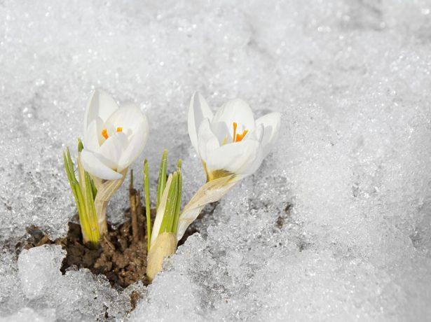 Крокусы под ледяной коркой