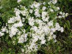 Мелкоцветковый клематис маньчжурский — дальневосточный гость