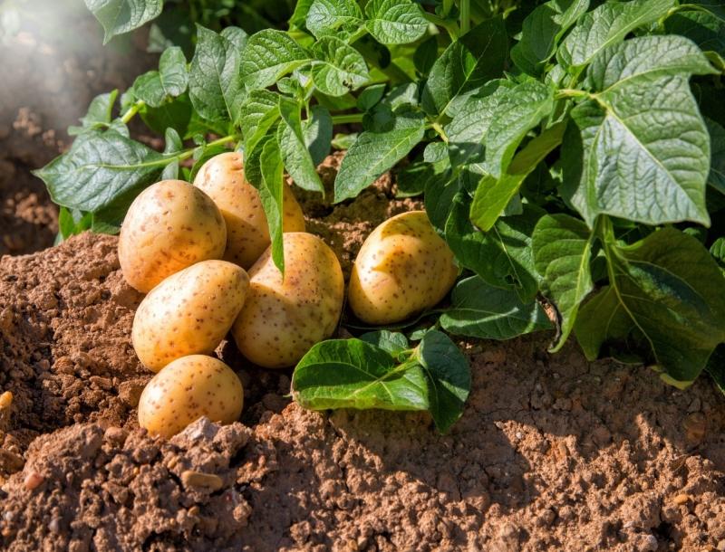 7 растений, которые не переносят удобрения из золы