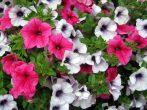 9 очень важных секретов посадки петунии, цветению которых можно потом только завидовать