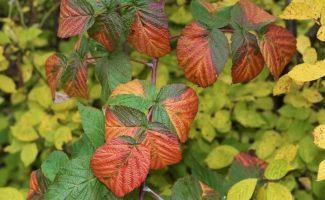 3 действия осенью, которые губят урожай малины весной