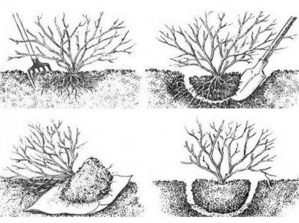 Как выкопать куст смородины