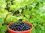Осенняя пересадка смородины: зачем нужна и как это делается
