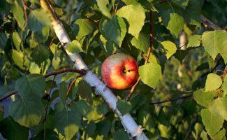 Можно ли привить яблоню на берёзу: любопытный эксперимент и его результаты