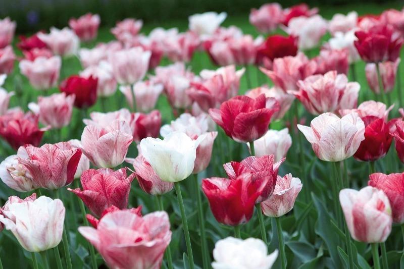9 лучших сортов тюльпанов, которые прекрасно подойдут для домашнего выращивания