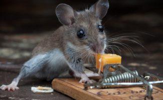8 эффективных способов навсегда избавиться от мышей на даче