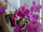 3 проверенных способа, которые заставят орхидею зацвести