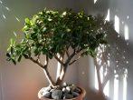 5 лучших подкормок для денежного дерева, которые гарантируют его быстрый и здоровый рост