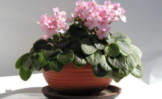 3 лучшие подкормки для фиалки без химии, которые помогут ей ярко и пышно цвести