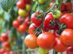 5 лучших сидератов для томатов, которые помогут получить великолепный урожай