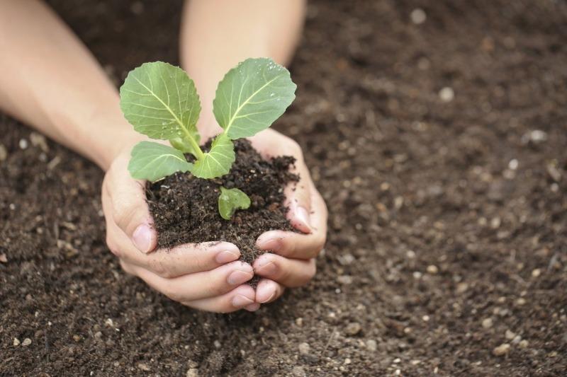 8 правил, которые помогут вам вырастить сильную рассаду капусты