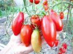 5 моих любимых сортов длинноплодных помидоров, которые я сажаю каждый год