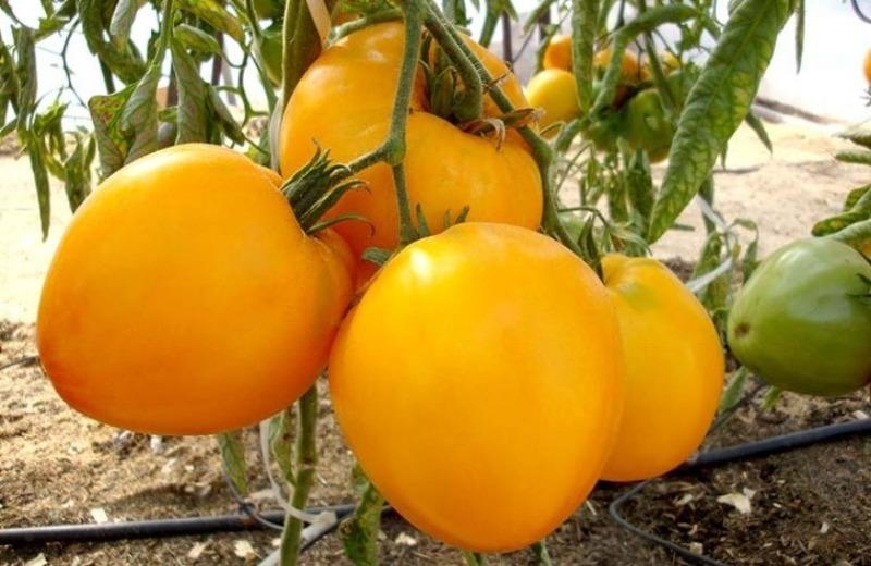 5 лучших сортов крупных и мясистых томатов 2020 года