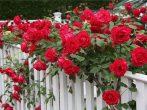 7 прекрасных быстрорастущих вьющихся цветов для забора, арок и шпалер на даче