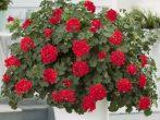 6 красивых цветов, которые прекрасно подойдут для кашпо и напольных контейнеров