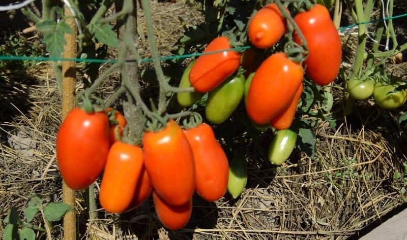 9 лежких сортов помидоров для посадки в 2020 году