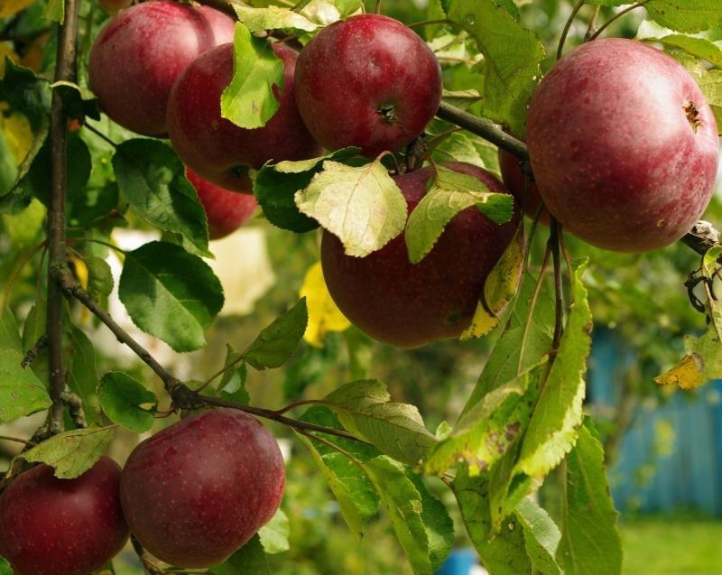 7 самых поздних и душистых сортов яблок, которые выбирают все опытные дачники