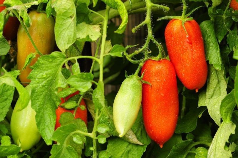 6 неприхотливых низкорослых томатов сибирской селекции, которые стоит посадить в 2020 году