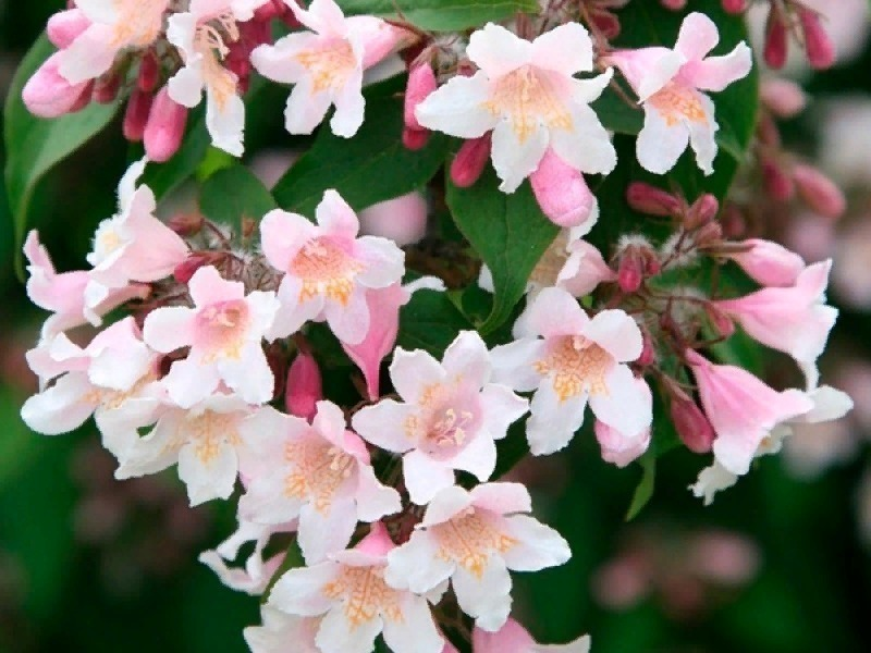 7 ароматно цветущих кустарников для сада, которые сделают вашу дачу настоящим раем