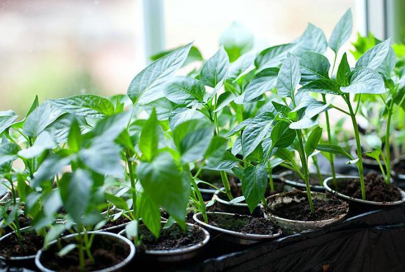 5 народных средств для рассады перца, которые помогут вырастить богатый урожай