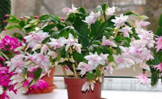 Как добиться обильного цветения декабриста, не затрачивая особых усилий