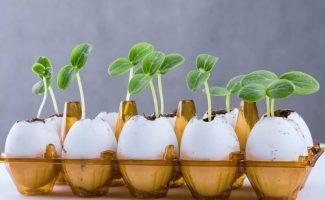 Как выращивать рассаду в яичной скорлупе: дешево и сразу с удобрением