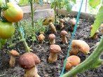 Что нужно принести из леса в свой огород, чтобы на нем выросли грибы