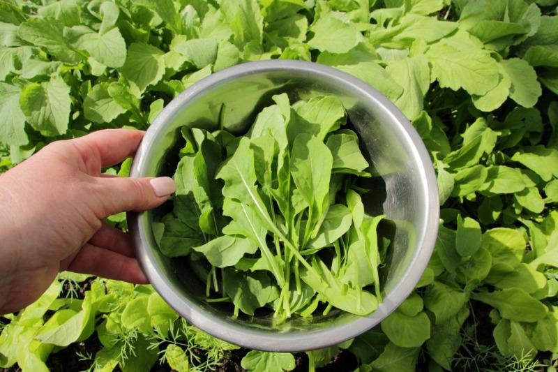 5 способов сохранить урожай рукколы