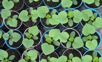 Как помочь ослабленной рассаде огурцов, которая вытянулась