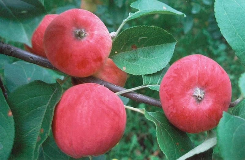 5 карликовых яблонь, которые сможет вырастить даже начинающий садовод