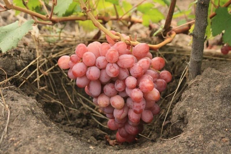 10 лучших сортов винограда для выращивания в средней полосе России
