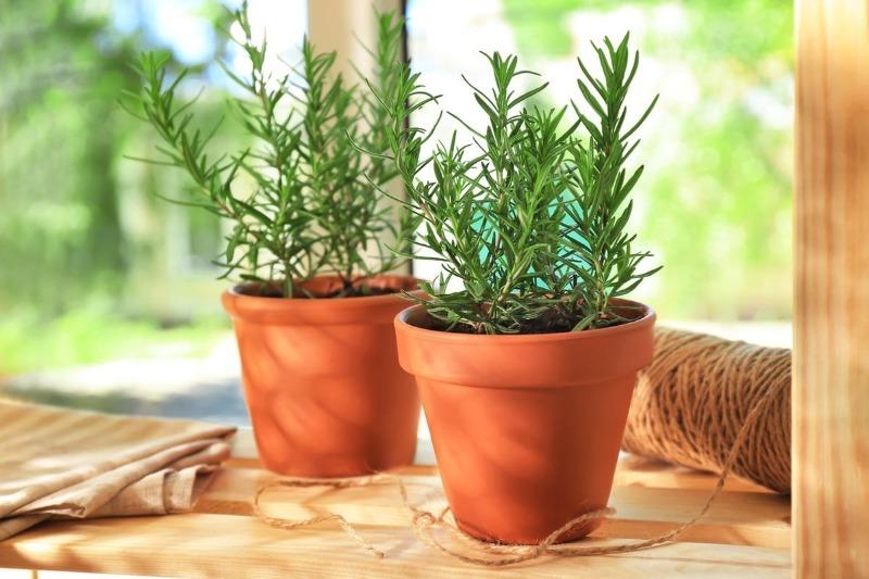 8 ароматных трав, которые можно выращивать дома на подоконнике