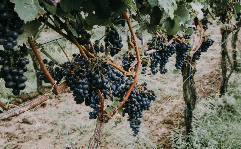 7 сортов винограда без косточки, из которых можно получить изюм методом естественной сушки прямо на лозе