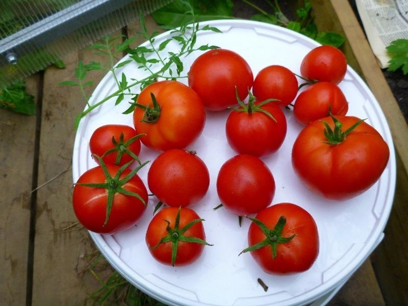 8 неприхотливых сортов томатов, рассаду которых можно сеять уже в марте