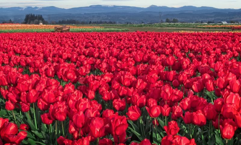 Чем подкормить тюльпаны, чтобы они распустились к майским праздникам