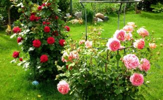 Что садоводу нужно сделать весной, чтобы летом наслаждаться цветущими розами