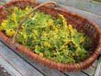 8 растений, которые будут охранять дом от нашествия мышей и крыс